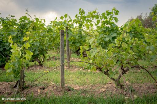 marcottage sur une vigne de chenin