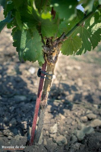 rocher des violettes de xavier weisskopf, vigneron en appellation montlouis, exemple de plant greffé sur haute tige,
