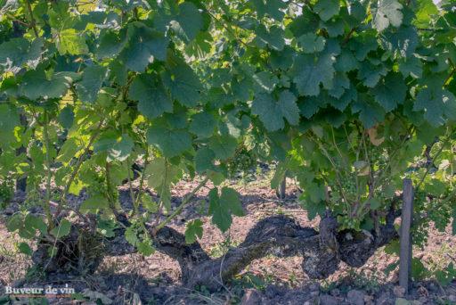 rocher des violettes de xavier weisskopf, vigneron en appellation montlouis, cep centenaire de côt